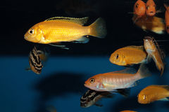 Yellow morph of Labidochromis caeruleus aquarium fish Royalty Free Stock Photography