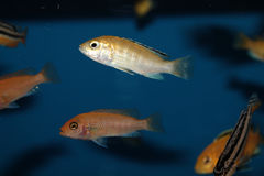Yellow morph of Labidochromis caeruleus aquarium fish Stock Photos