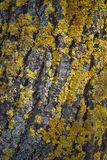 The yellow moss on the bark of a tree in autumn Stock Photo