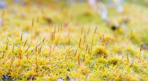 Yellow moss Royalty Free Stock Photo