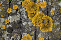 Yellow moss Stock Photos