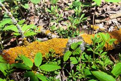 Yellow moss on a tree branch. royalty free stock photos