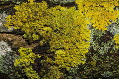 Yellow moss on the tree. Natural background Royalty Free Stock Photography