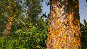 Yellow moss on an  tree. stock footage