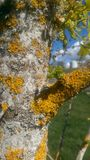 Yellow moss on white tree bark Royalty Free Stock Photo