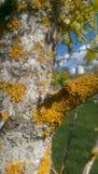 Yellow moss on white tree bark. Springtime mustemard yellow moss growing on a tree bark close up Royalty Free Stock Photo