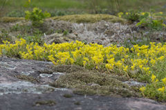 Yellow Mossy Stonecrop Royalty Free Stock Photography
