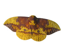 Yellow moth, isolated. Yellow moth, resting Stock Images
