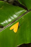 Yellow Moth on a Leaf Stock Images