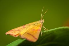Yellow moth Royalty Free Stock Image