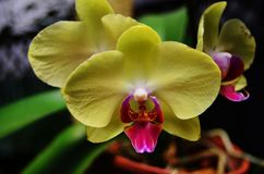 Yellow moth orchid. Phalaenopsis is the scientific name for this canary yellow orchid with a pink purple center lip royalty free stock images