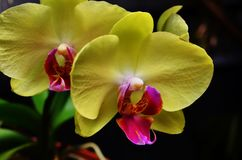 Yellow moth orchid. Phalaenopsis is the scientific name for this canary yellow orchid with a pink purple center lip royalty free stock photo