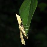 Yellow Moth On Peony Leaf Stock Image