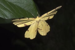 Yellow Moth On Peony Leaf Stock Photo