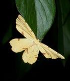 Yellow Moth On Peony Leaf Royalty Free Stock Image