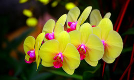 Yellow moth or phalaenopsis orchids Stock Images