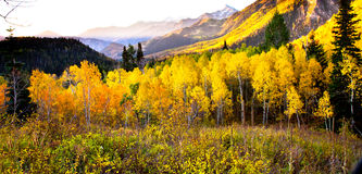 Yellow Mountain Aspens Stock Photos