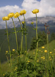 Yellow mountain flower. Landscape stock photo