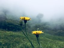 Yellow mountain flower. Green top of a mountain. Green color. misty. yellow flowers Royalty Free Stock Images
