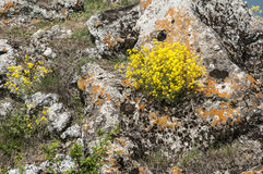 Yellow mountain flowers on rock. Yellow mountain flowers on overgrown with moss rock as background Royalty Free Stock Images