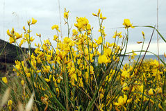 Yellow mountain flowers. With seashore on the background stock photography