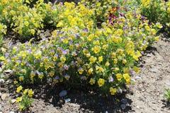 Yellow mountain saxifrage stock image