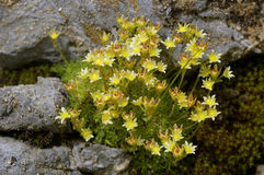 Yellow Mountain Saxifrage Stock Image
