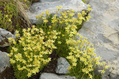 Yellow Mountain Saxifrage Stock Photo