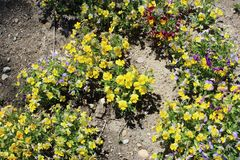 Yellow mountain saxifrage. Yellow mountain-saxifrage almost always grows in the company of butterwort and birds-eye primrose. All three of them prefer the cold stock photography