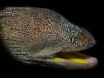 Yellow-mouthed moray eel Stock Image