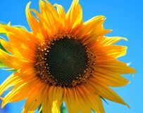 Yellow Multi Petaled Flower Closeup Photography Under Blue Sky during Daytime Royalty Free Stock Images