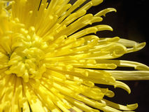 Yellow Mum Stock Photo