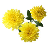 Yellow Mum Stock Photos
