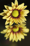 Yellow mum bloom on mirror Royalty Free Stock Images