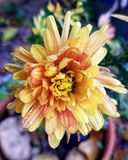 Yellow mum Royalty Free Stock Photos
