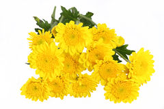 Yellow mum daisy Stock Image