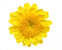 Yellow mum daisy Royalty Free Stock Photo
