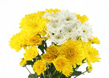 Yellow mum daisy Royalty Free Stock Photography
