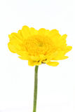 Yellow mum daisy Stock Photography