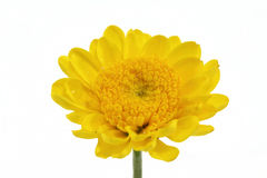 Yellow mum daisy Royalty Free Stock Images