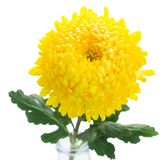 Yellow mum flowers Stock Images