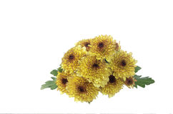 Yellow mum flowers. And green leaves Stock Image