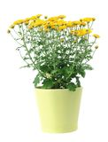 Yellow mum Stock Images
