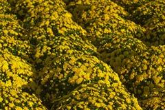 Yellow mums. Rows of bright yellow mum flowers in bloom. Genus: Chrysanthemum stock image
