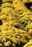 Yellow Mums stock image