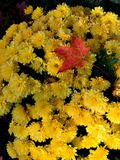 Yellow Mums with Fall Reminder Stock Image