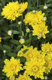 Yellow mums floral garden background Stock Photo