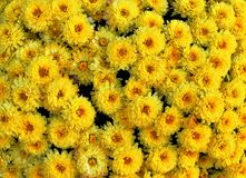 Yellow Mums Royalty Free Stock Images