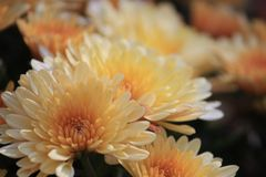Yellow mums Stock Images
