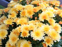 Yellow mums Royalty Free Stock Photo